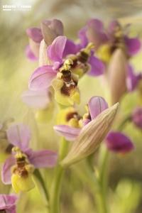 Ophrys tenthredinifera var. ficalhoana