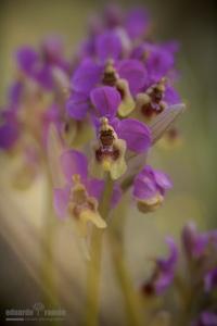 Ophrys ficalhoana